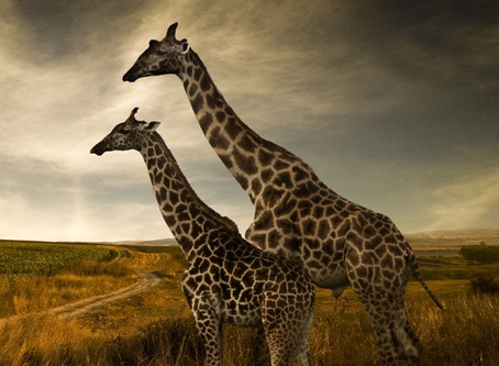 """Importurile făcute de SUA duc la """"dispariția silențioasă"""" a girafelor"""