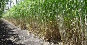Inscripciones abiertas para acceder al Programa Intercosecha Sector Azúcar 2020