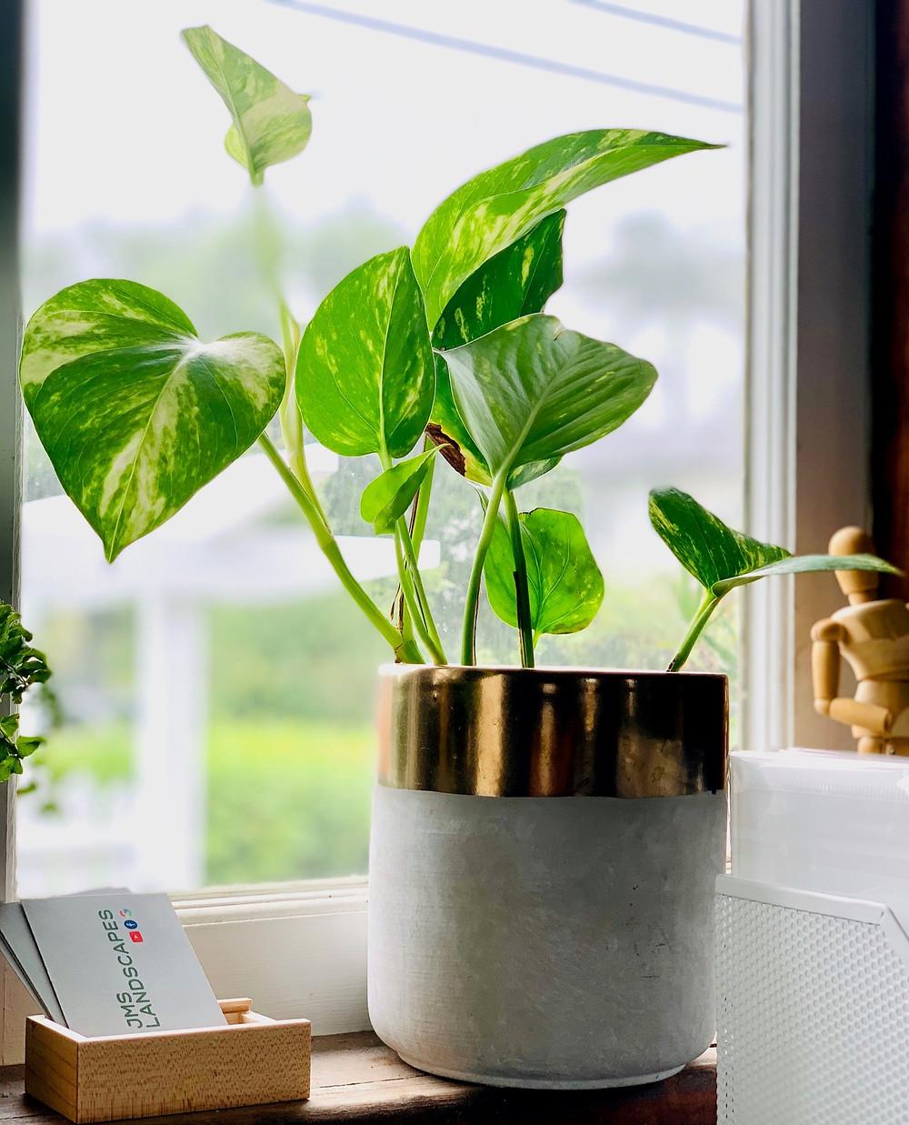 Indoor Plant, Devils Ivy, Landscaper Brisbane