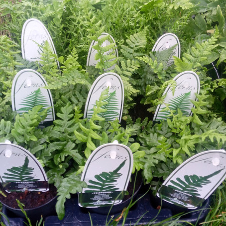 Just In! Fern Mix <3