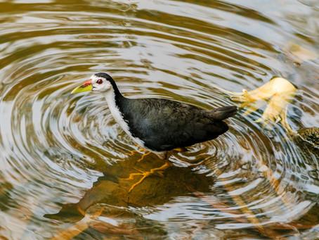 Birding while working in Gampaha