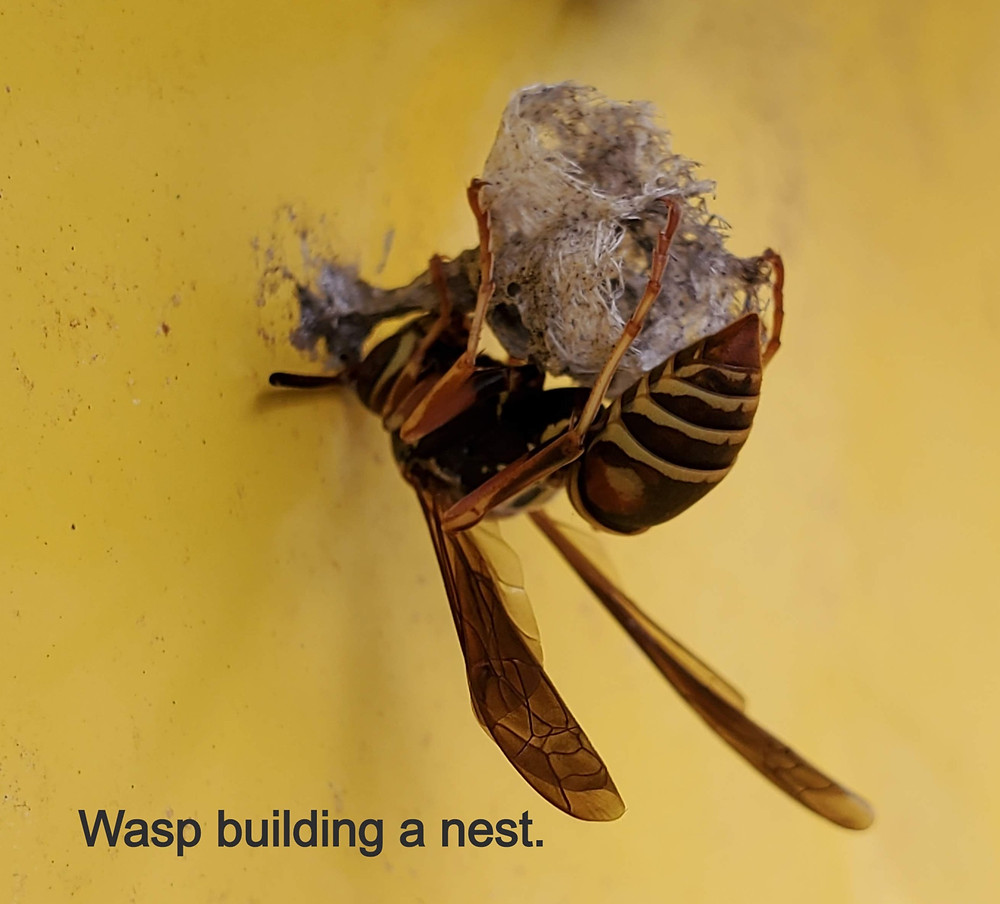 Wasp building a nest.