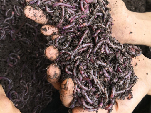Vermicompost aka Worm castings Pt1