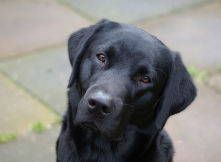Portretten van jachthonden