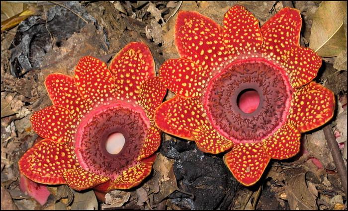 fleur géante malaisie