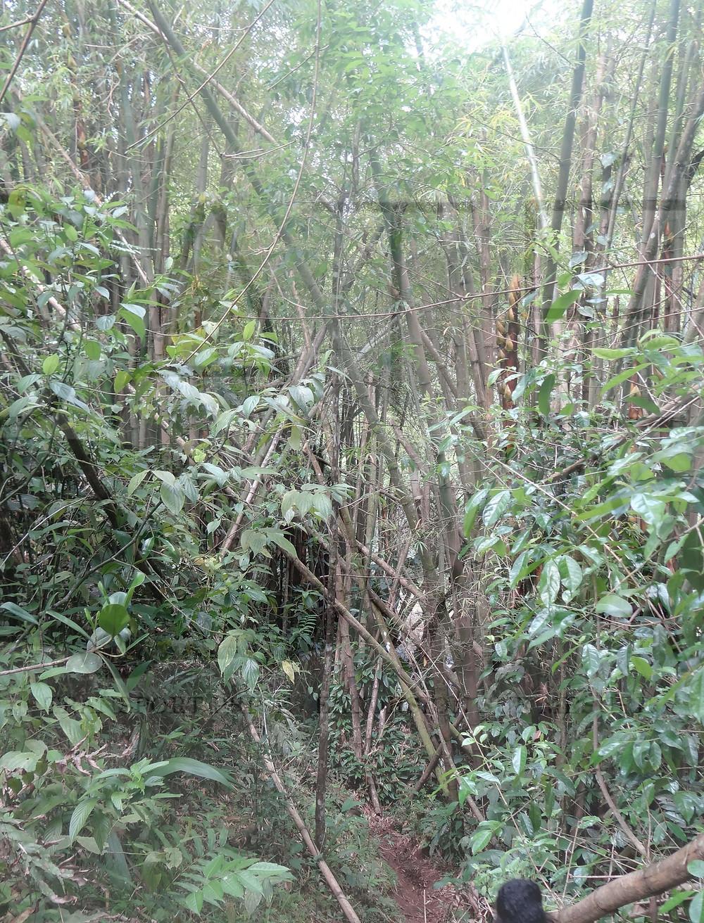 bambou guadeloupe sentier randonnée de la cascade tambour