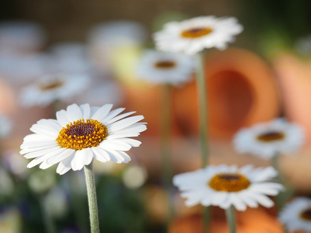 On receiving daisies