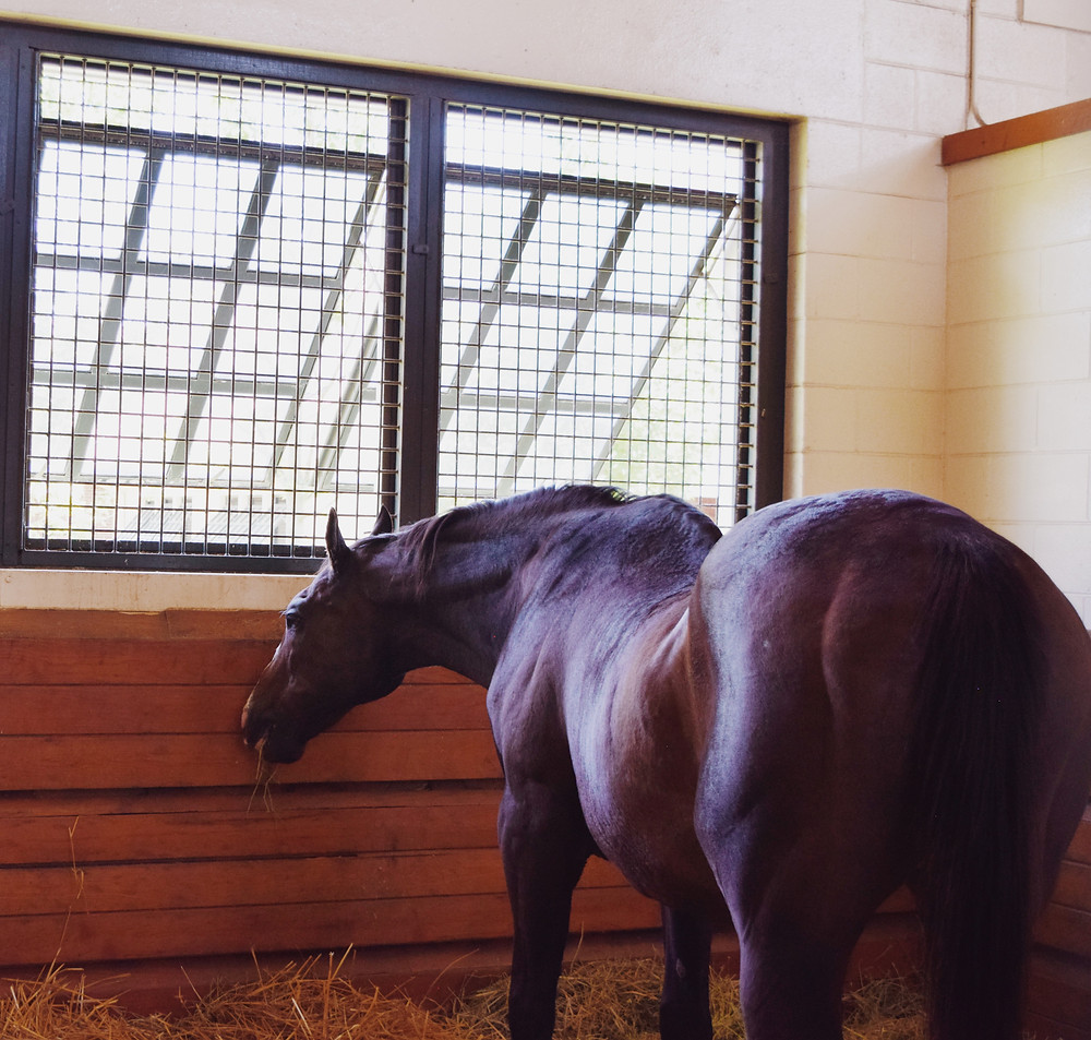 Stallion A.P. Indy in his stall during a Visit Horse Country Tour at Lane's End Farm 2019.