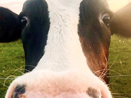 Das Bild der wilden Kuh