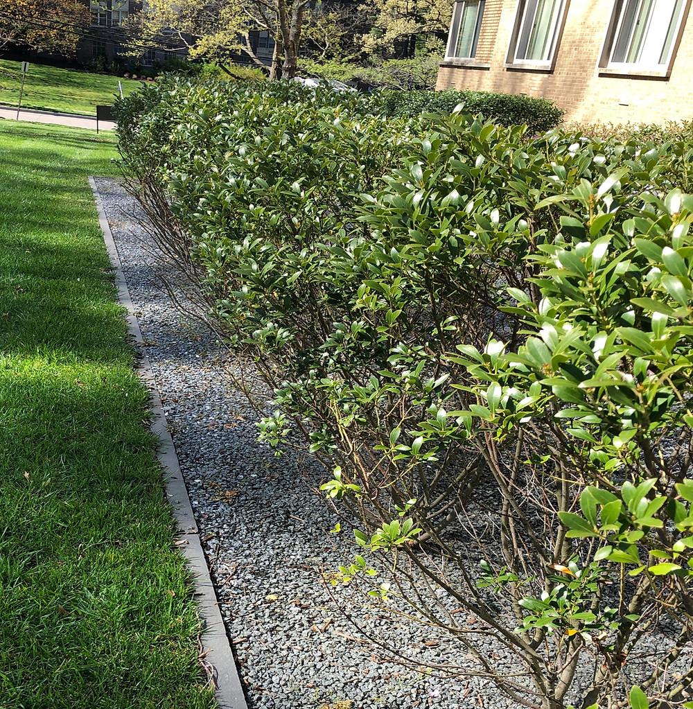 native inkberry hedge