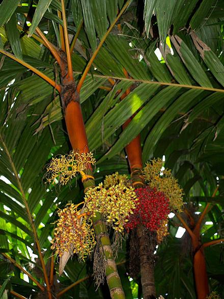 Areca vestiaria in fruit
