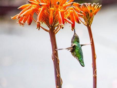 My Hummingbird Have You Heard