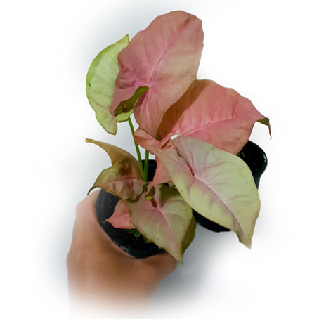 Syngonium podopyllum Pink - How to care