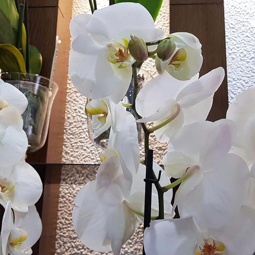 "Orquídea ""Phalaenopsis"""