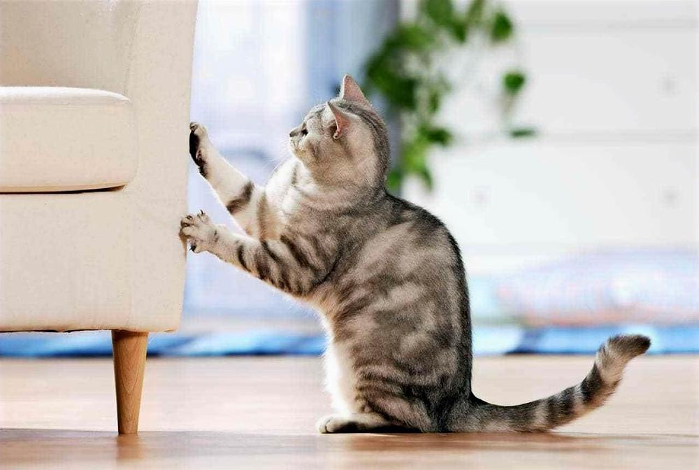 Arranhador para gatos: catnip a forma natural de salvar o seu sofá e móveis