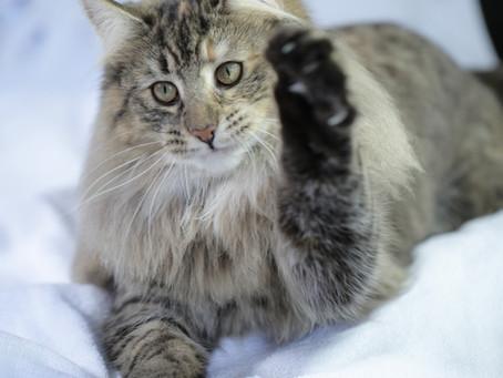 Higiene del gato