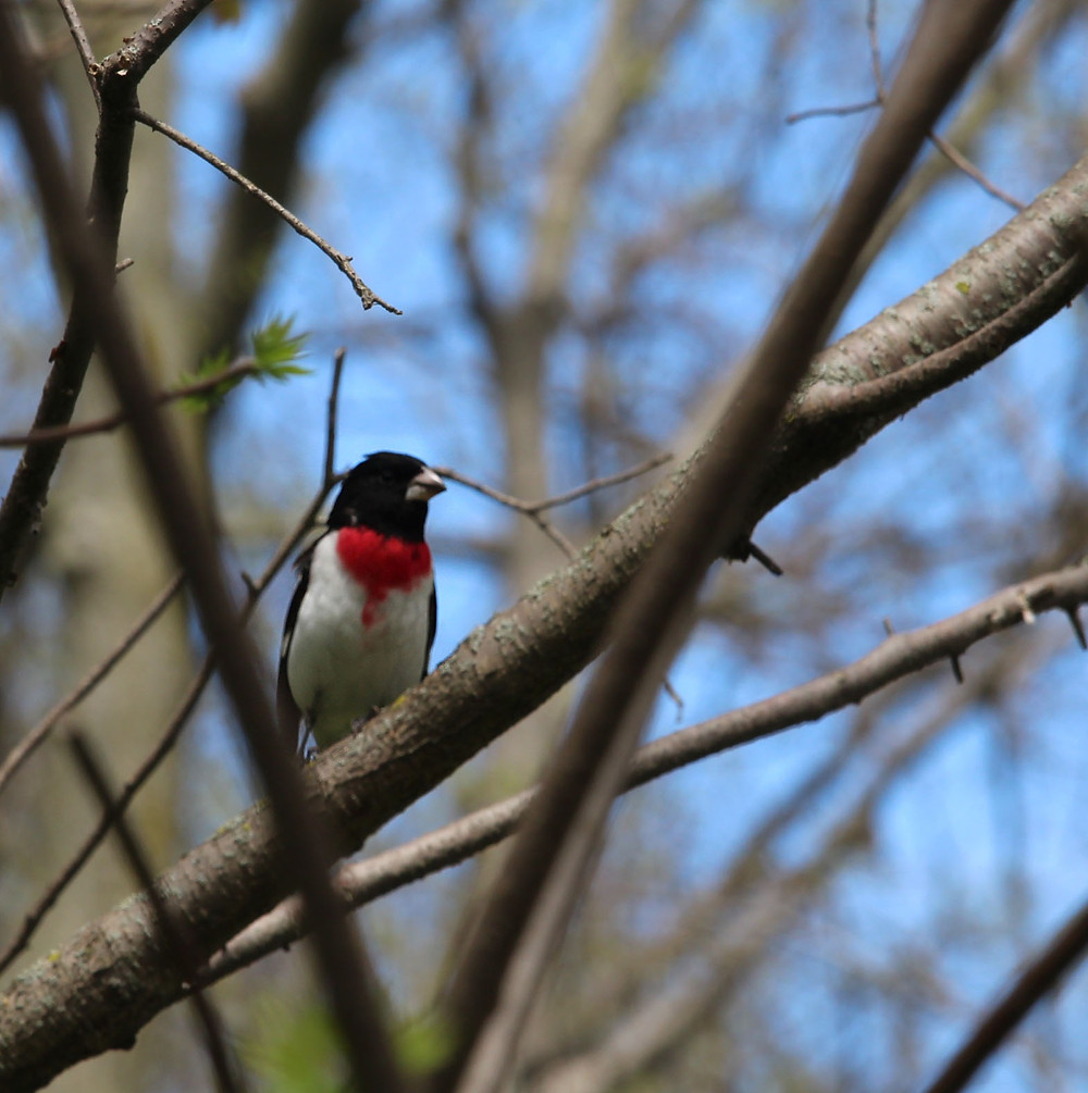 A male Rose-breasted Grosbeak in Point Pelee National Park, May 2019. Photo: Eva Thorpe.