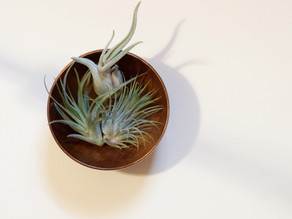 How to Water Air Plants