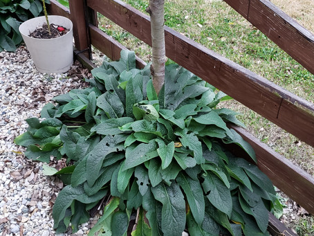 Planting Comfrey Around Fruit Trees