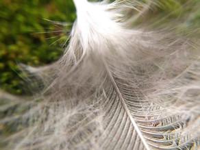 Verflixt und angepickt!  Tipps gegen Federpicken bei Hühnervögeln