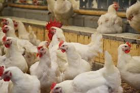 History of the US Chicken Industry
