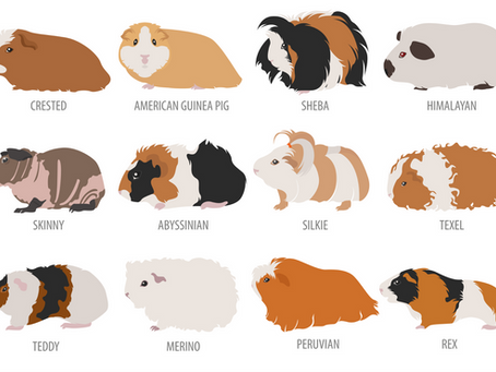 Curious about Guinea Pigs