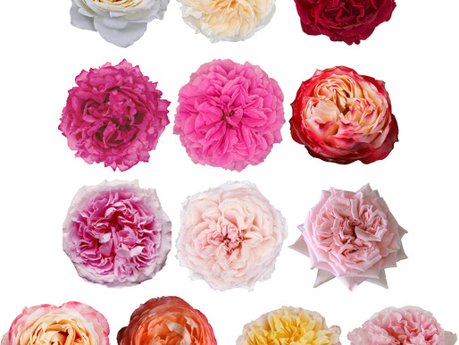 Garden Roses or Peonies? Advice for Floral Designers