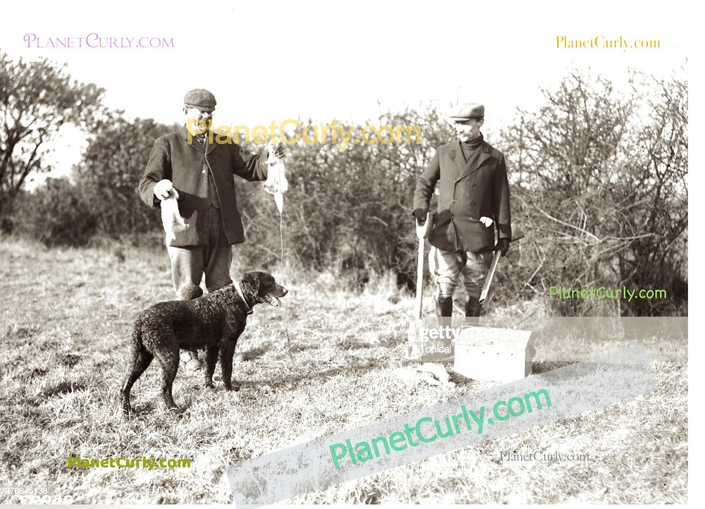 A curly coated retriever dog accompanies two men and a ferret on a rabbit hunting trip.
