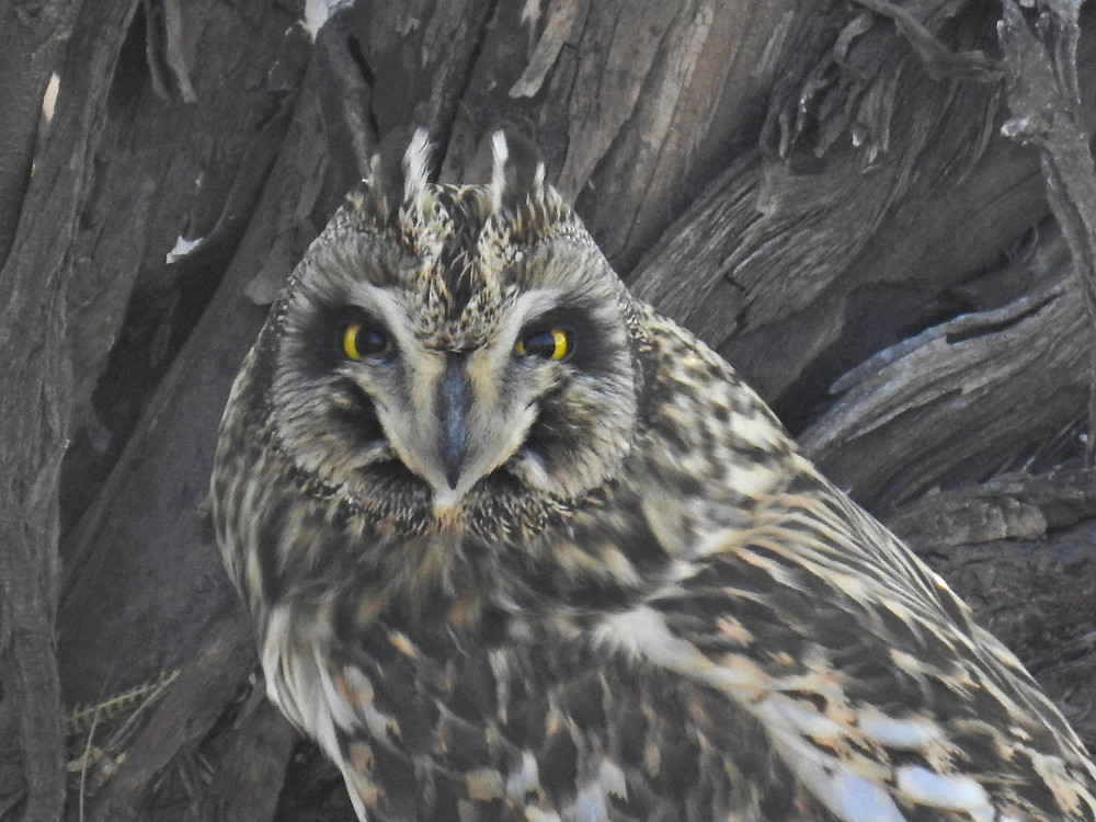 Short-eared owl Anoop Padate