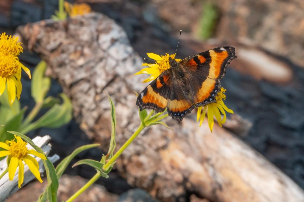 Close-up photo of Milbert's Tortoiseshell butterfly