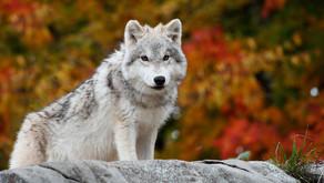 Arctic Wolves by Avian Rojas, Kebek McClintock and Malek Rashad