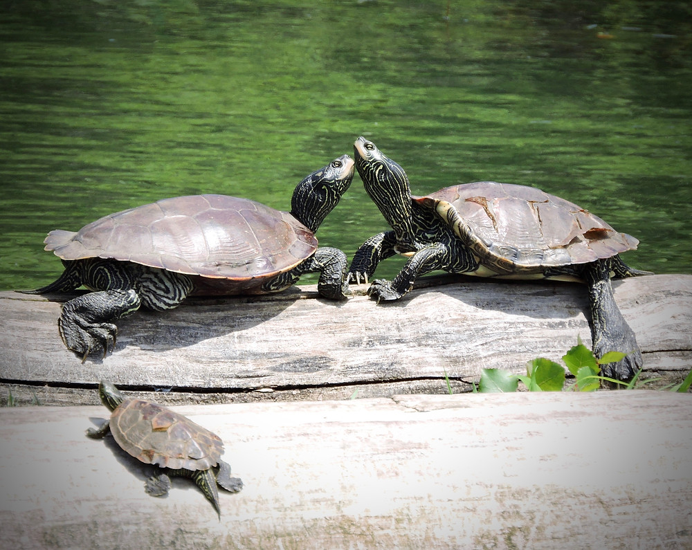 3 turtles basking in the sun at presque isle state park