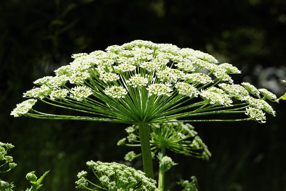 berce du caucase , plante , plante dangereuse ,