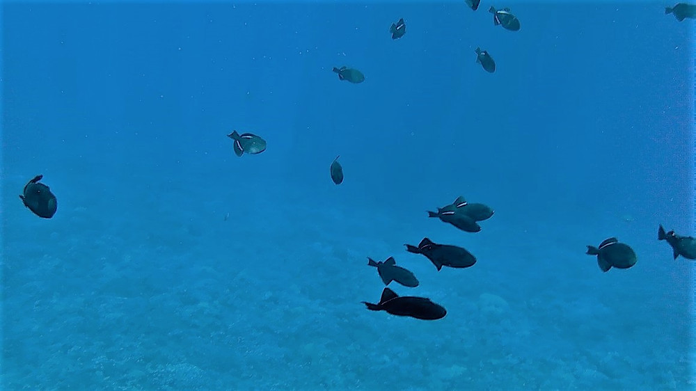 school of trigger fish near Molokini, Hawaii