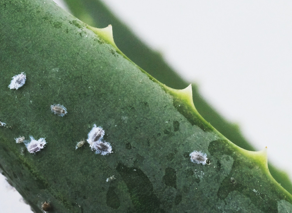 AllotMe pests mealybugs swarm plant tips aloe vera urban agriculture