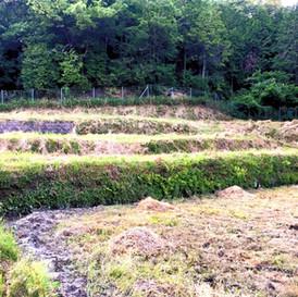 ひまわり畑を山の中に作る