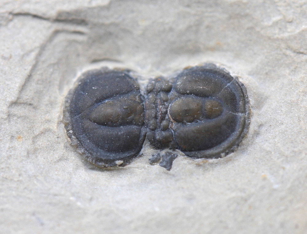 Peronopsis-interstrictus