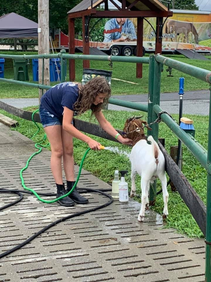 Girl washing her goat at the harford county 4-h farm fair