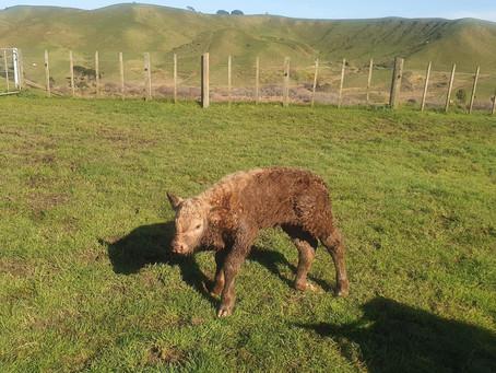 Welcoming a new bull calf