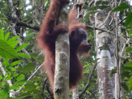 One Night Two Days Orangutan Trip in Bukit Lawang with Guyver from Australia🇦🇺