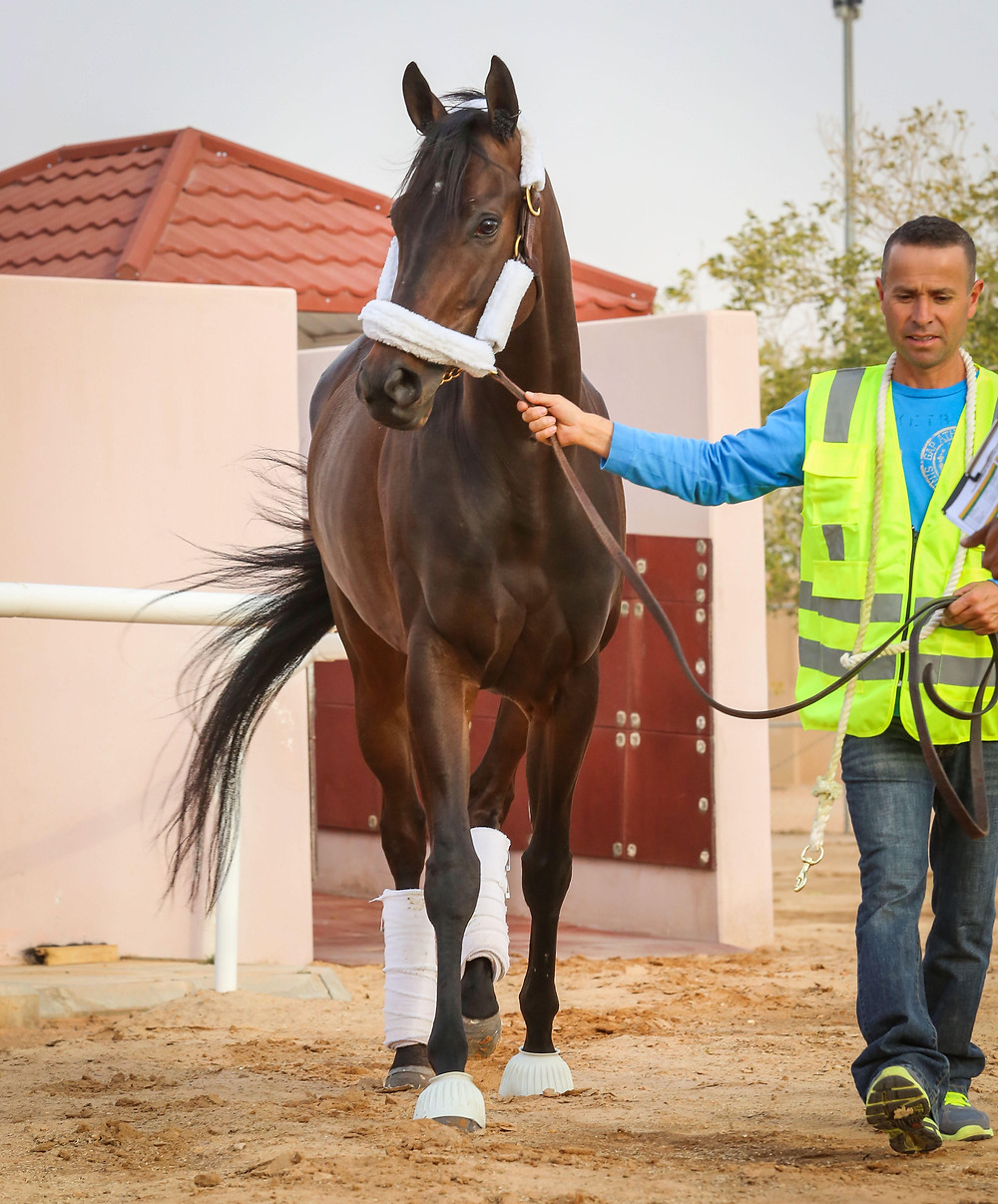 Midnight Bisou arrives for inaugural $20 million Saudi Cup