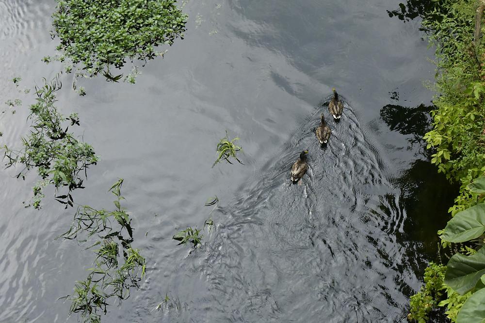 Group Of Ducks in Georgetown