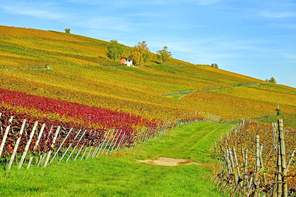 Vignoble traité en viticulture biologique