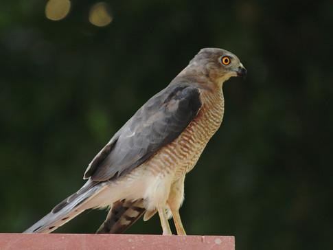 Hawk- The Eater