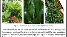 Estudio de la planta Matico - Piper aduncum