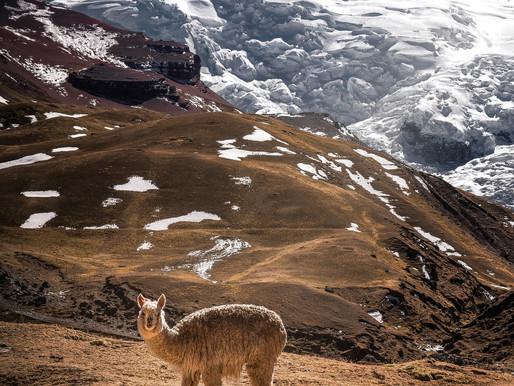 Llama, Llama—What's All This Antibody Drama?