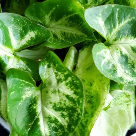 How to grow Syngonium Podophyllum plant, how to care Arrowhead plant?