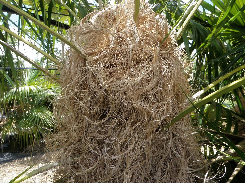 Coccothrinax crinita, Old Man Palm, has hairy thatching