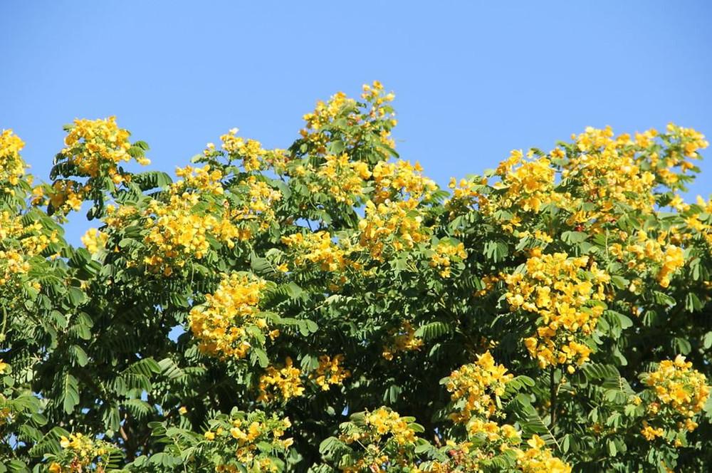Verawood/Bulnesia arborea at Belen Prep, Miami