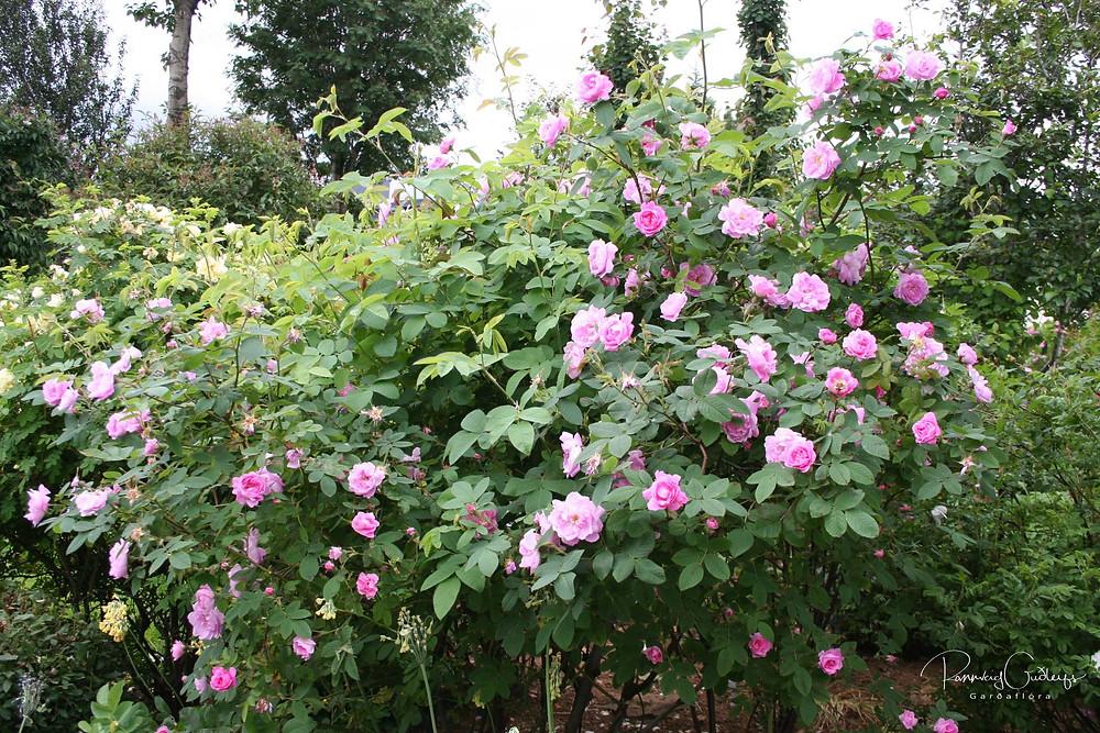 Hurdalsrós, Rosa villosa 'Hurdal, Hurdalsrosen, pink rose shrub